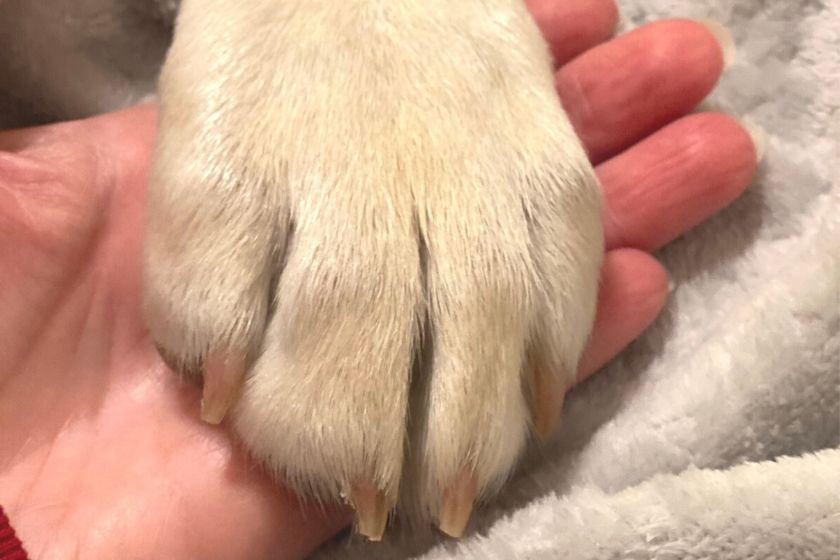 puppy's paw showing toenails after a toenail trimming as part of grooming. photo.