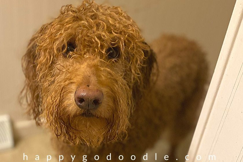 curly, wet 40-pound Goldendoodle dog after a bath. photo.