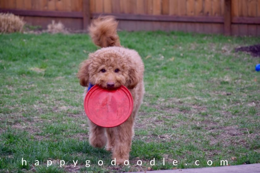 goldendoodle playing a game of frisbee. photo.