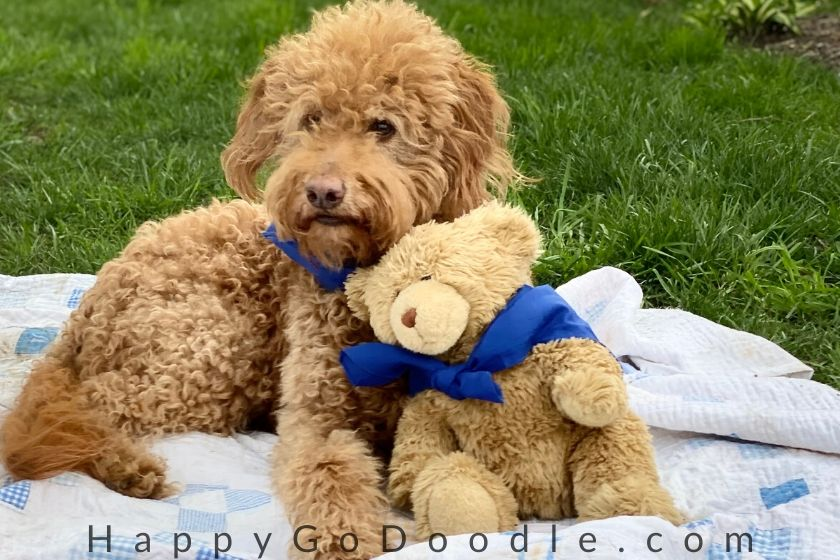 Red Goldendoodle dog and teddy bear leaning against each other. Photo.