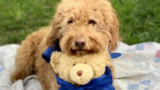 goldendoodle dog with teddy bear. photo.
