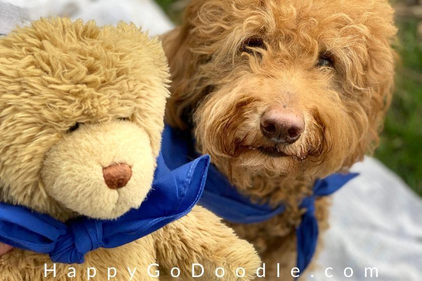 Teddy bear's face snuggled next to a Teddy Bear Goldendoodle's face. photo.