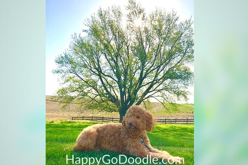 dog sitting in green grass with shade tree in background. photo.
