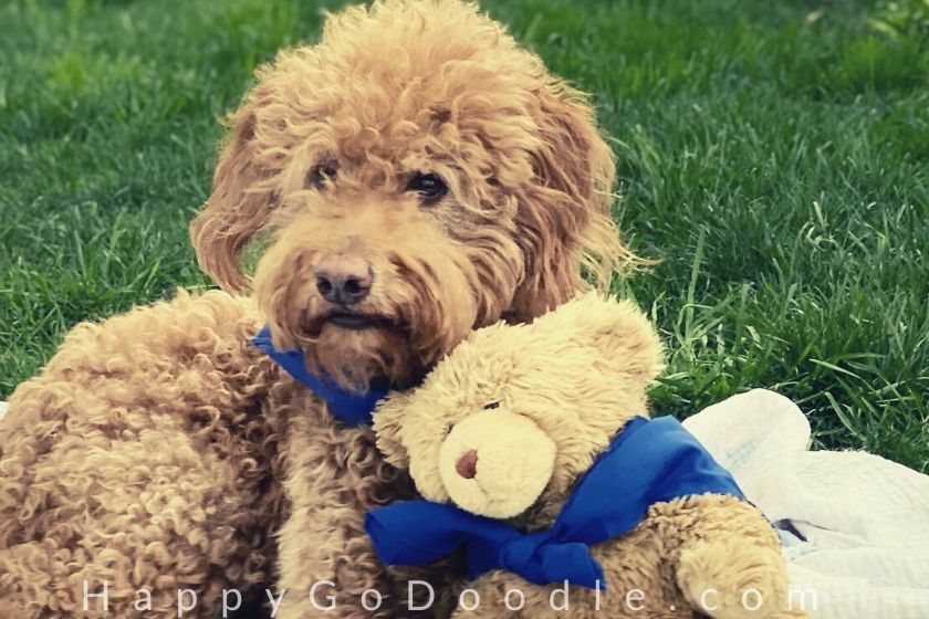 Adult Goldendoodle dog leaning head on teddy bear, photo