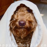 close-up adult goldendoodle wearing robe like a star wars character, photo