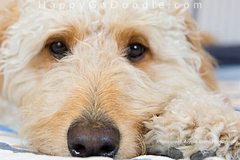 close-up of cream-colored adult goldendoodle's face, photo