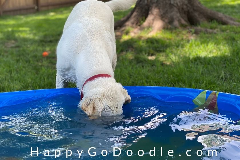 """Lab puppy dipping head clear under the water in a baby pool as example of """"wacky"""" as a word that describes dogs, photo"""