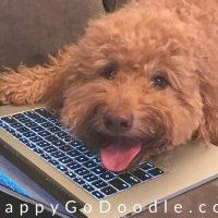 goldendoodle dog looking up words to describe dogs on a laptop computer, photo
