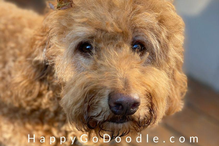 Close-up of adult Goldendoodle dog with soulful eyes, photo