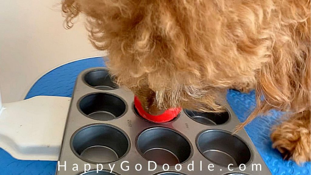 red goldendoodle dog intent on licking dog kong toy while cornstarch was applied to mat and it was combed out, photo