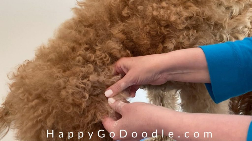 hands working the mat at one of the steps for using cornstarch for matted dog hair, photo