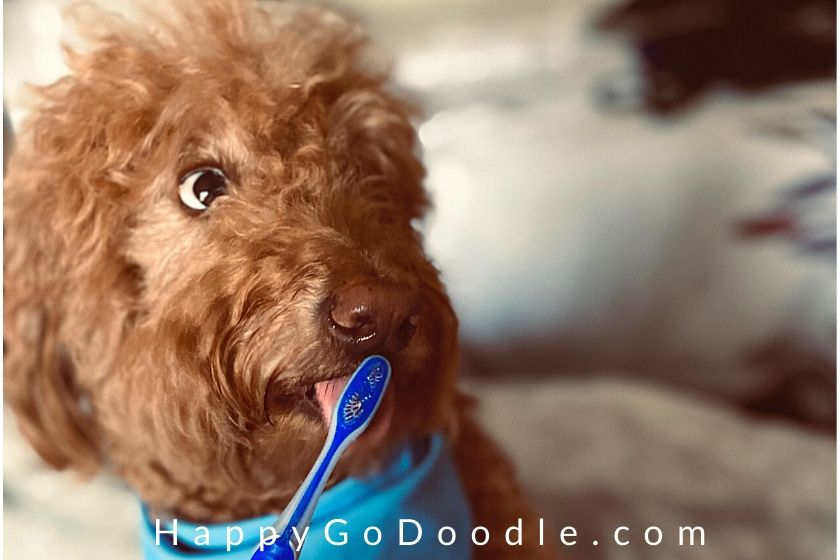 Goldendoodle with funny expression at parent brushes dog's teeth, photo