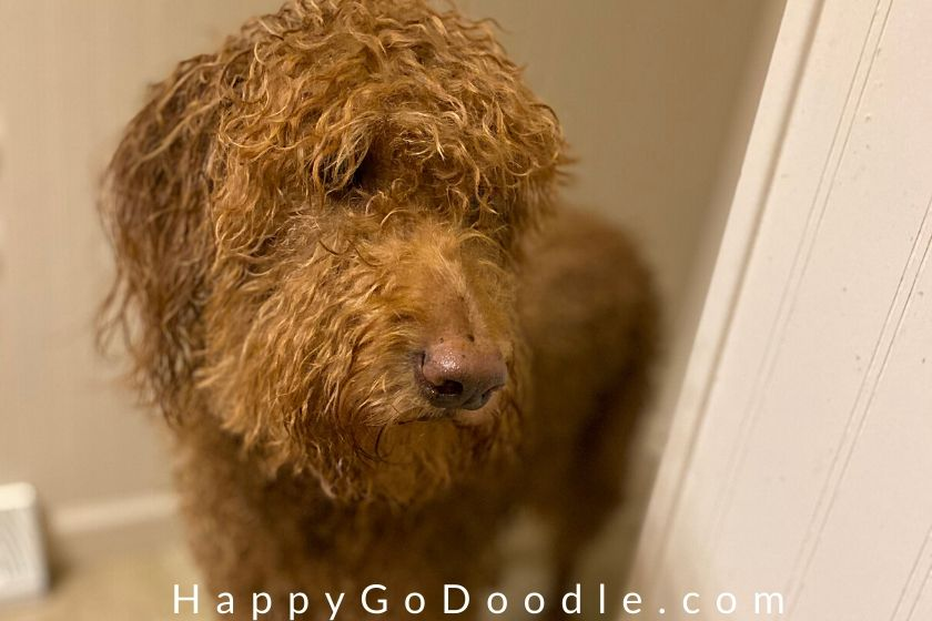 Funny Goldendoodle peeking around the corner and looking down, photo