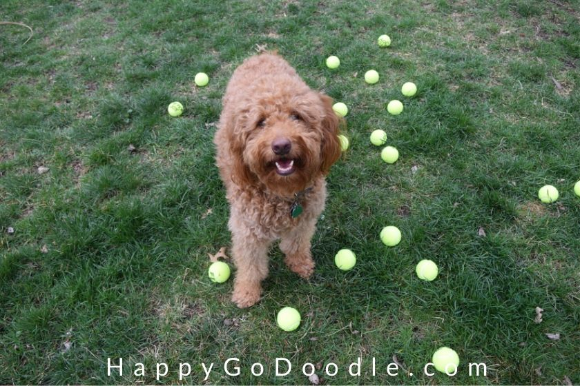 Happy Goldendoodle in the middle of a yard scattered with tennis balls, photo