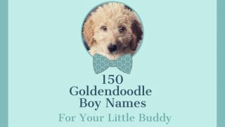 photo of Goldendoodle puppy and title 150 Goldendoodle Boy Names, For Your Little Buddy