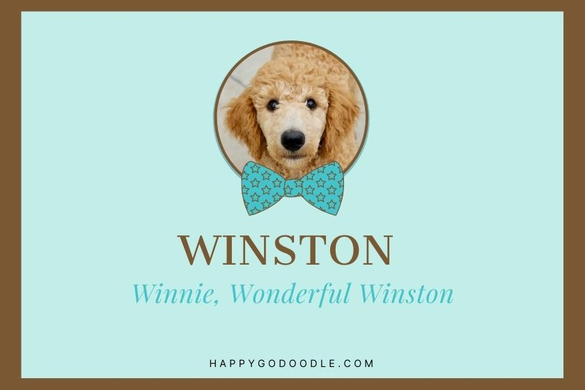 Photo of Goldendoodle puppy with name Winston and nicknames Winnie, Wonderful Winston