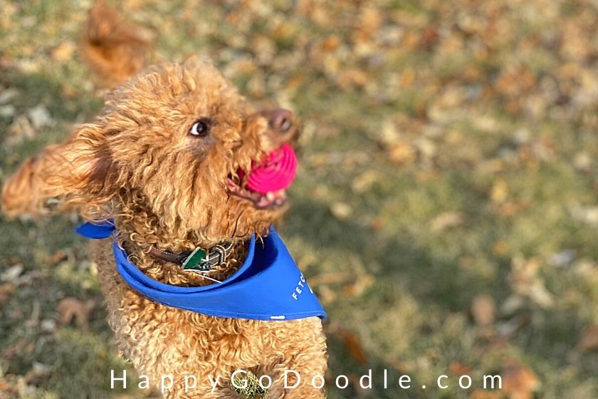 F1B Goldendoodle dog wearing blue bandana catching red ball as example of one of the pros of Goldendoodlehood, photo