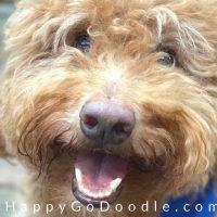 Smiley-faced adult Goldendoodle dog, photo
