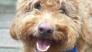 Smiley-faced adult Goldendoodle dog, photo