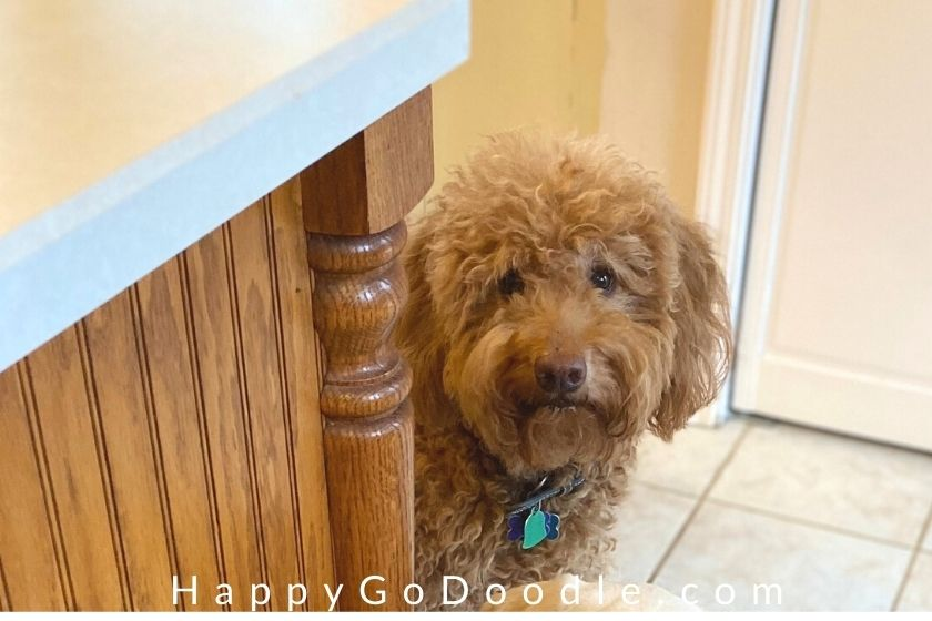 Goldendoodle peeking around the kitchen island watching the pupsicles get made, photo