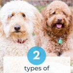 creamy white f1 goldendoodle and apricot f1b goldendoodle sitting together, title 1 types of goldendoodles, photo