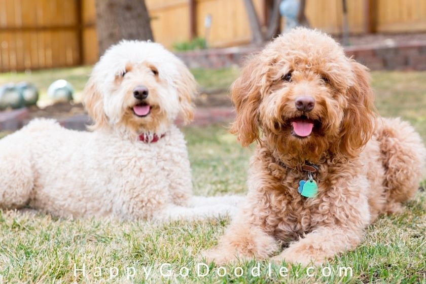 Red adult F1b Goldendoodle sitting by cream-colored white F1 Goldendoodle, photo