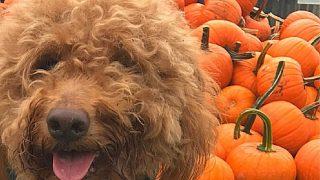 adult goldendoodle dog with pumpkins, photo