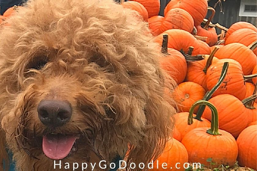 close-up of a red dog's face with pumpkins in the background as example of a fall bucket list activity, photo