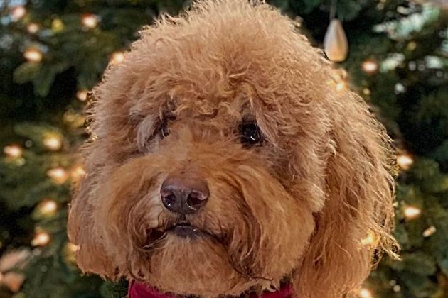 Adult Goldendoodle's face with lighted Christmas tree in background ready for Christmas Goldendoodle ornaments, photo