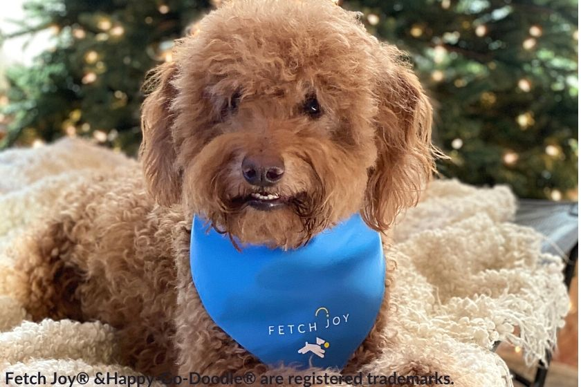 Adult Goldendoodle dog wearing blue bandana in front of Christmas tree, photo