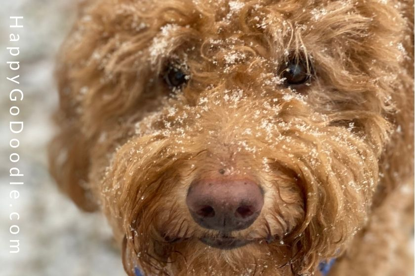Adult red Goldendoodle's face with a sprinkling of snow lacing the eyelashas and snout, photo