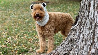 medium-sized goldendoodle wearing a dog snood with polar bear ears and standing by tree, photo