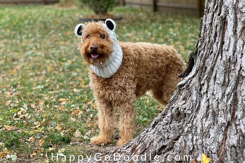 Adult goldendoodle wearing a polar bear dog snood and peeking around a tree, photo