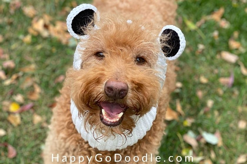 Dog's face with toothy smile and wearing a white panda bear-styled head and neck warmer, photo