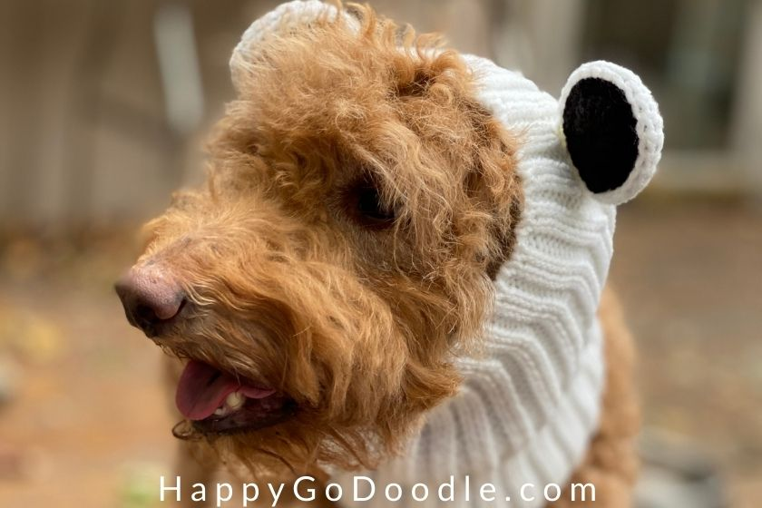 close-up of a red, fluffy Goldendoodle wearing a white panda bear Zoo Snood, photo