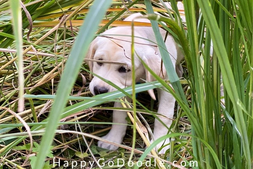 white puppy in tall green grassing sniffing, photo