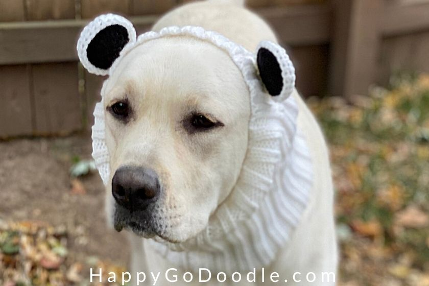 Close-up of a yellow Labrador Retriever wearing a bear-themed snood, photo