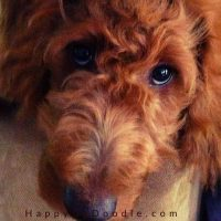 close up of goldendoodle puppy face, photo