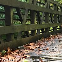 dog walking on wooden bridge in woods, photo