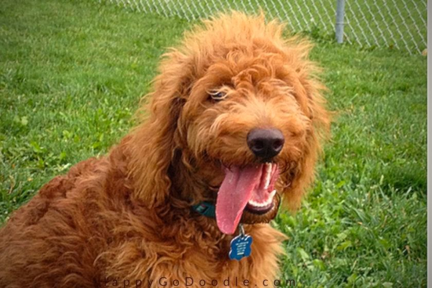fluffy golden doodle puppy with tongue out, photo