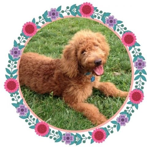 Goldendoodle Puppy Supply List