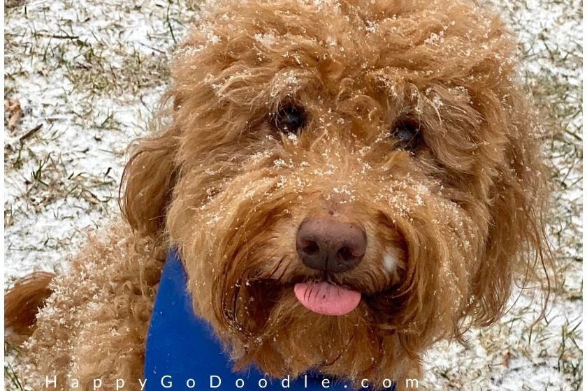 Funny Goldendoodle's face with tongue sticking out, photo