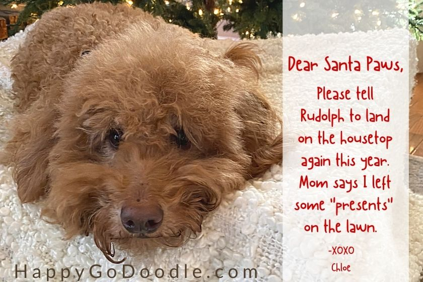 """Goldendoodle dog and a letter that begins """"Dear Santa Paws"""", photo"""