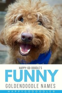 smiley-faced goldendoodle and title funny goldendoodle names, photo