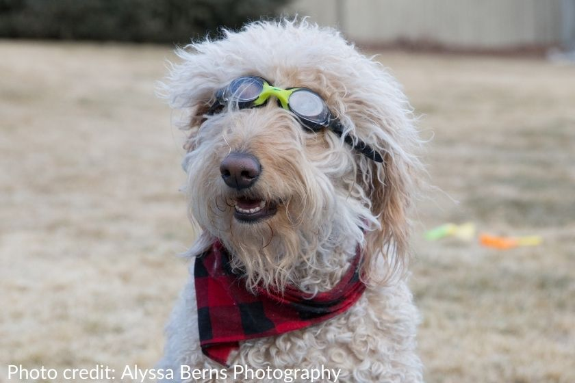 silly cream-colored goldendoodle wearing goggles, photo