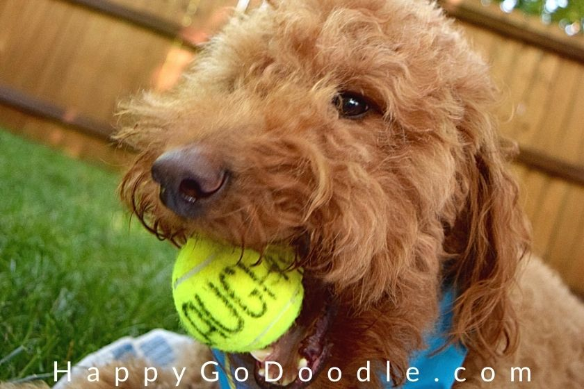 """Medium Goldendoodle's catching a ball that says """"laugh"""", photo"""