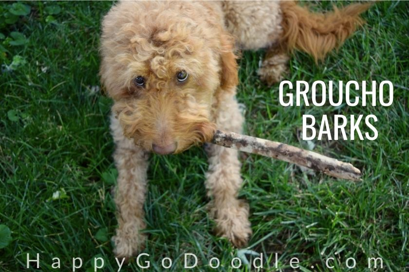 """funny goldendoodle with stick in mouth and title """"groucho barks"""""""