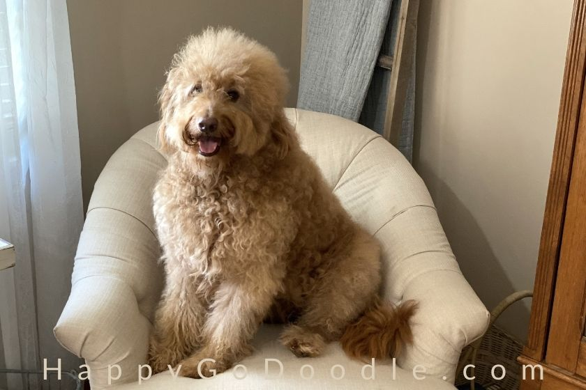 Fluffy adult Goldendoodle dog sitting pretty in a chair after grooming, photo