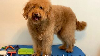 medium-sized, senior goldendoodle standing on grooming table, photo
