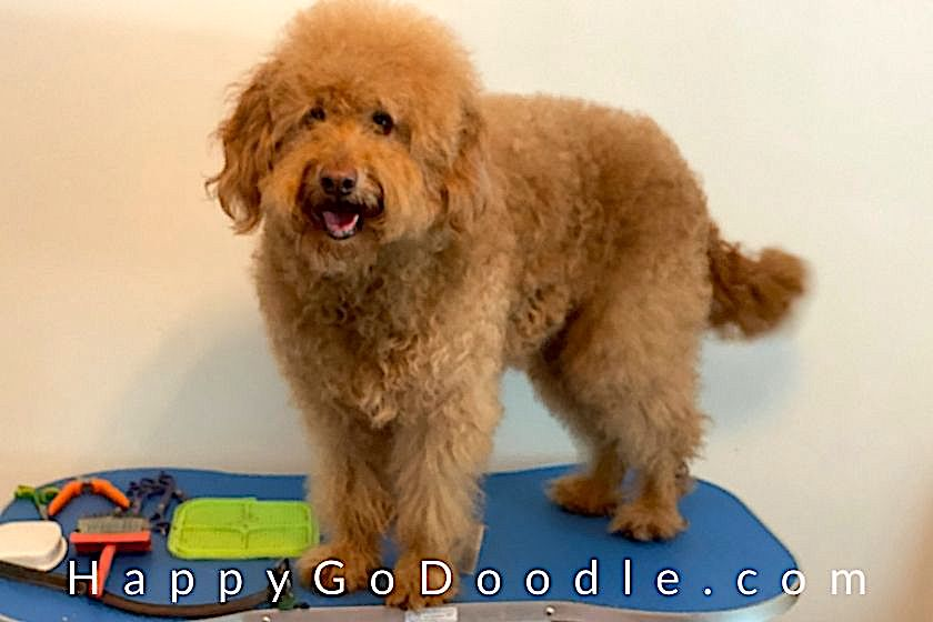 Adult Goldendoodle dog standing on Flying Pig dog grooming table, photo